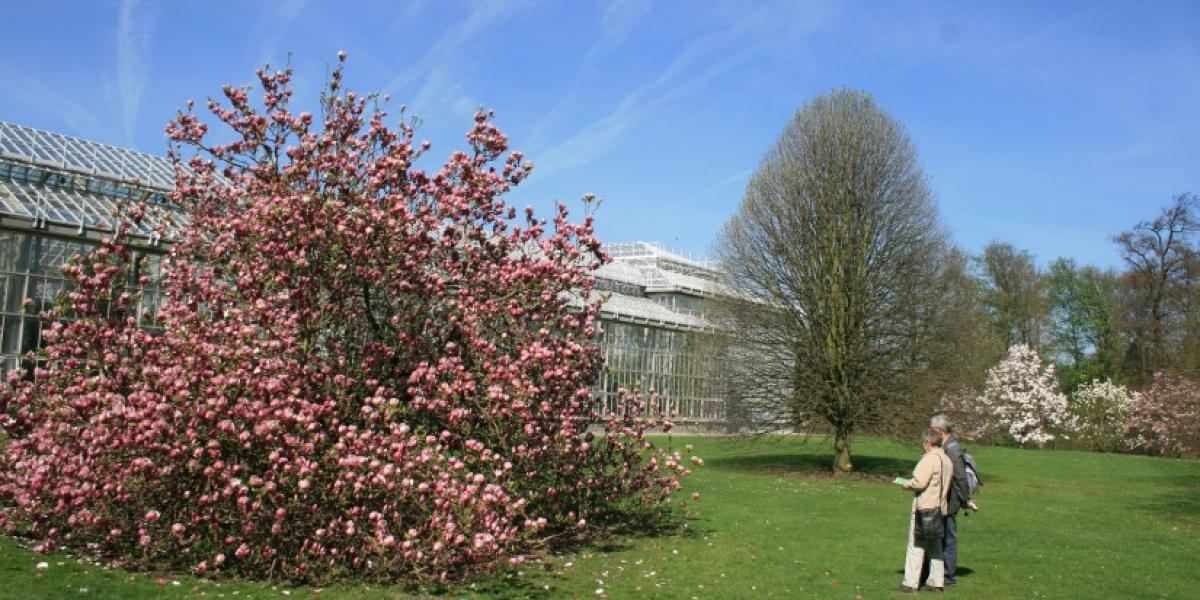 Magnolia's in de Plantentuin Meise